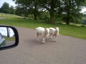 Sheep at YSP